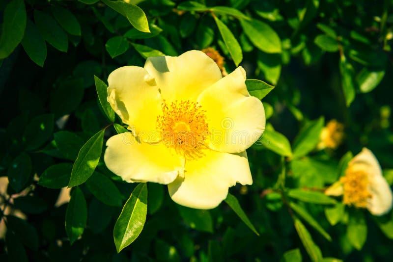 Bush de belles chien-roses jaunes dans un jardin images libres de droits