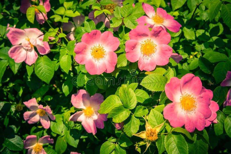 Bush de belles chien-roses roses dans un jardin photographie stock libre de droits