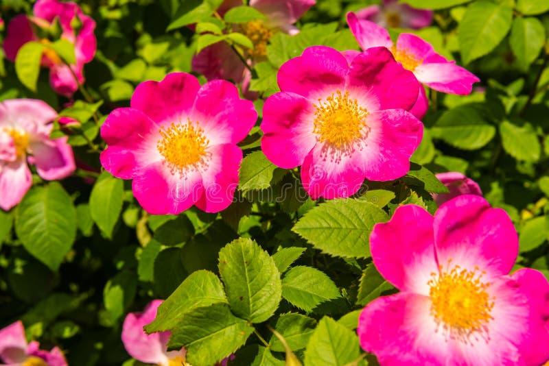 Bush de belles chien-roses roses dans un jardin photo stock