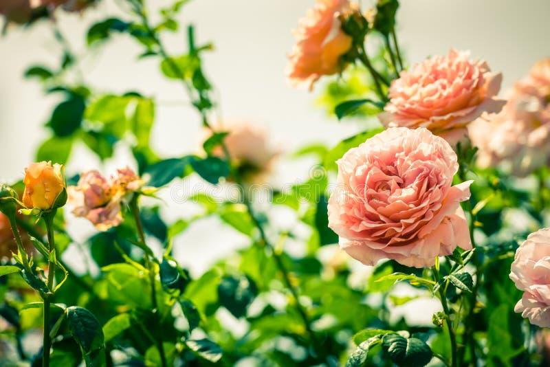 Bush de belles roses dans un jardin photo libre de droits