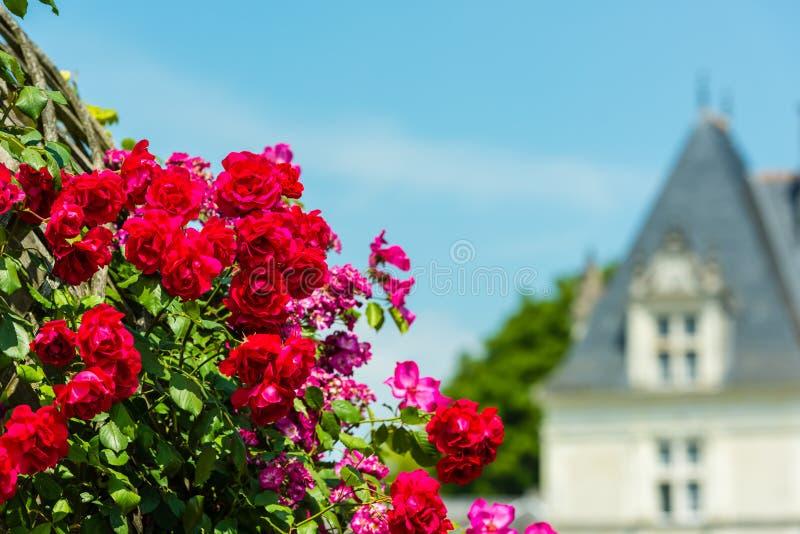 Bush de belles roses dans un jardin photos libres de droits