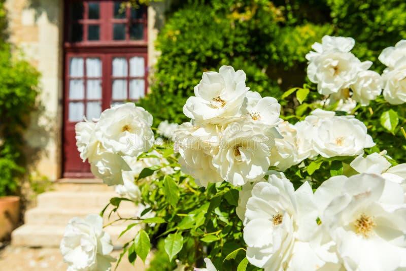 Bush de belles roses dans un jardin photo stock