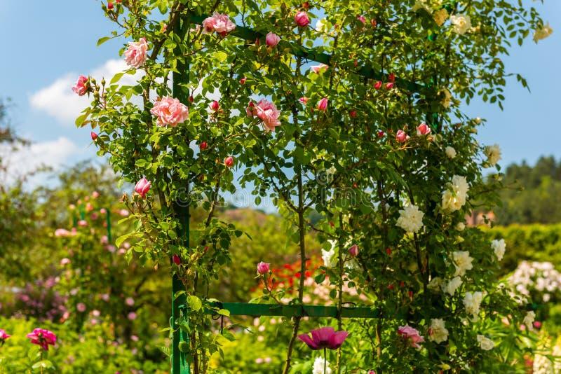 Bush de belles roses dans un jardin image libre de droits