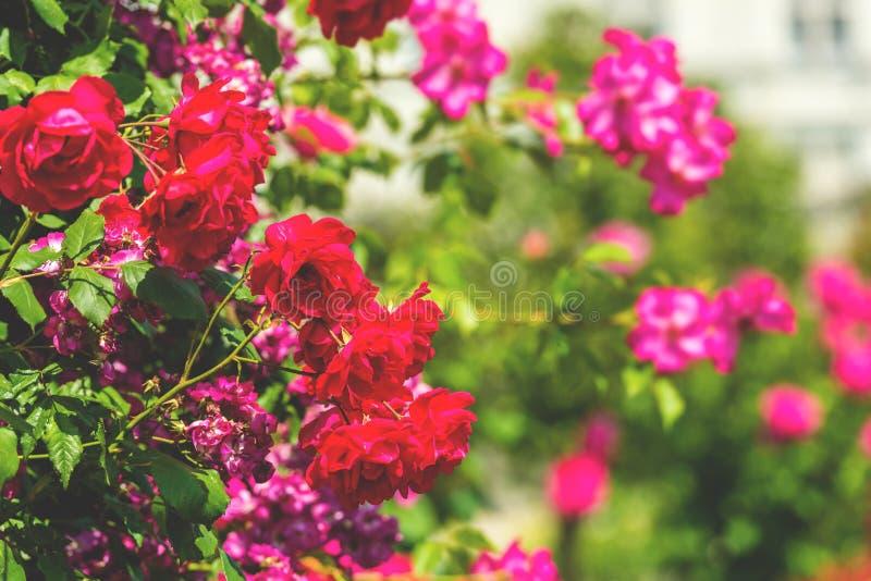 Bush de belles roses dans un jardin photos stock