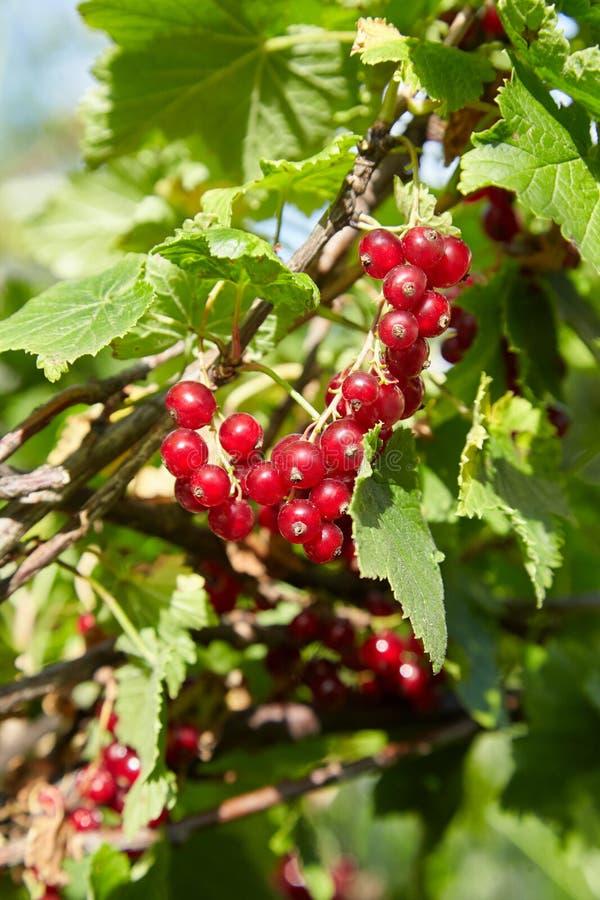 Bush de groseille rouge dans un jardin image stock