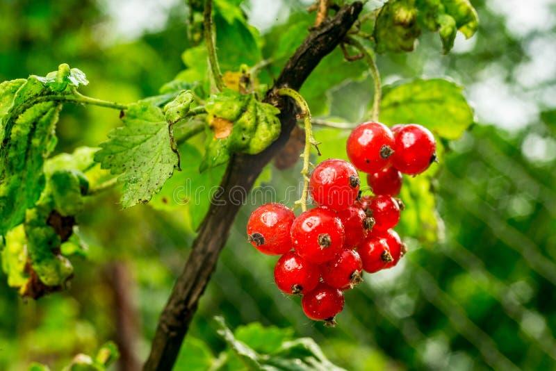 Bush de groseille rouge s'élevant dans un jardin Fond de curran rouge photographie stock