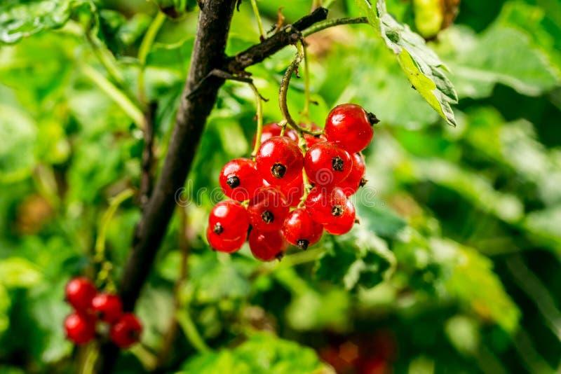 Bush de groseille rouge s'élevant dans un jardin Fond de curran rouge photo stock
