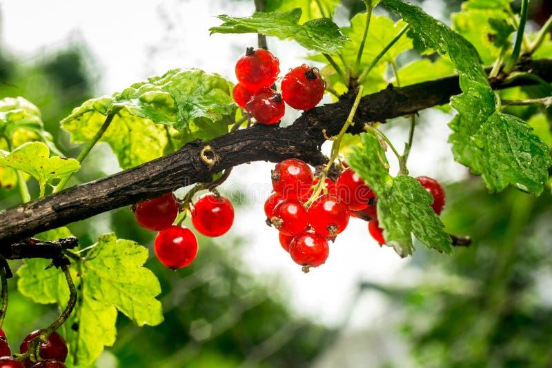 Bush de groseille rouge s'élevant dans un jardin Fond de curran rouge photos libres de droits