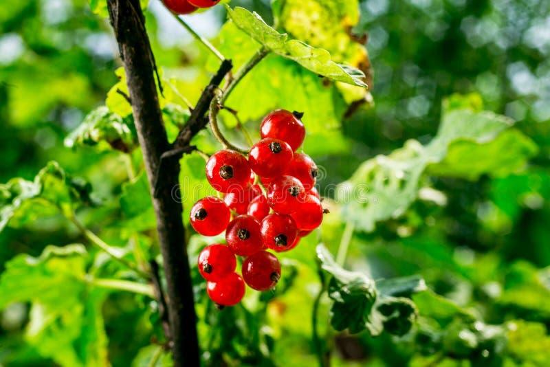 Bush de groseille rouge s'élevant dans un jardin Fond de curran rouge photographie stock libre de droits