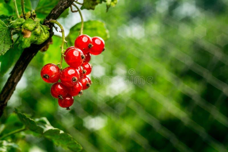Bush de groseille rouge s'élevant dans un jardin Fond de curran rouge photo libre de droits