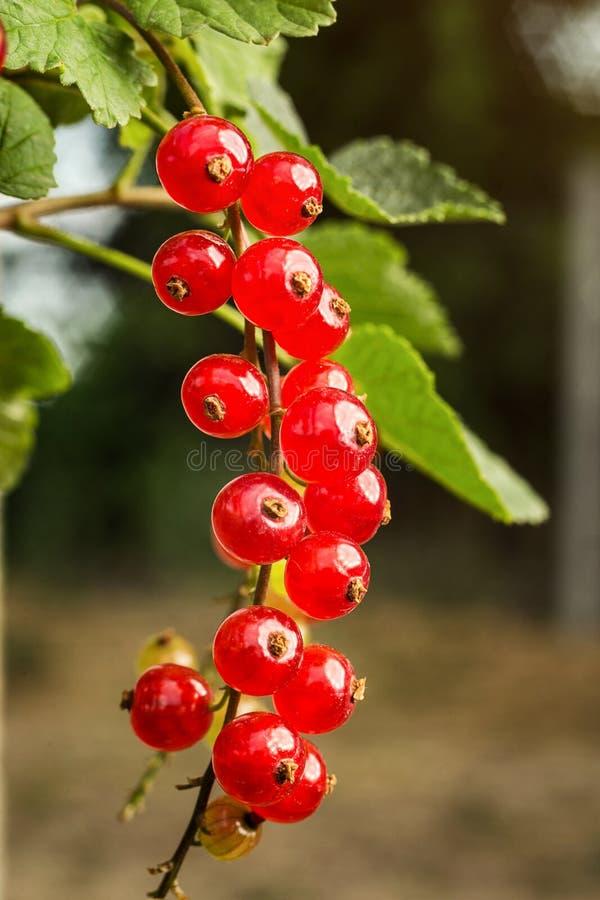 Bush de la groseille rouge mûre s'élevant dans un jardin comme récolte d'été image stock