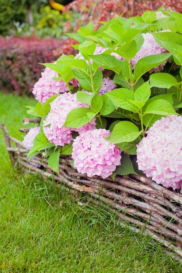 Bush de la hortensia rosada de la flor que florece en el jardín fotografía de archivo libre de regalías