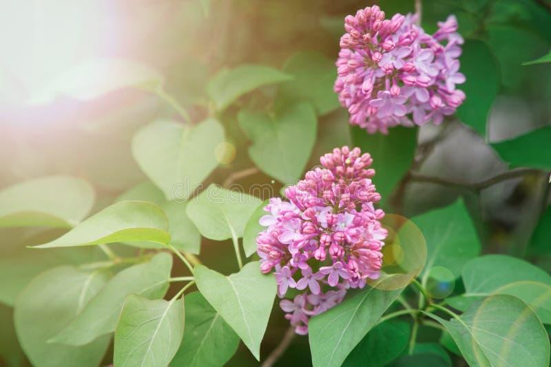 Bush de la hortensia rosada de la flor que florece en el jard?n fotografía de archivo libre de regalías