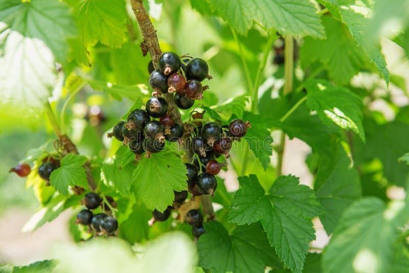 Bush de las bayas de la grosella negra en un jardín El chispear en el verano su foto de archivo