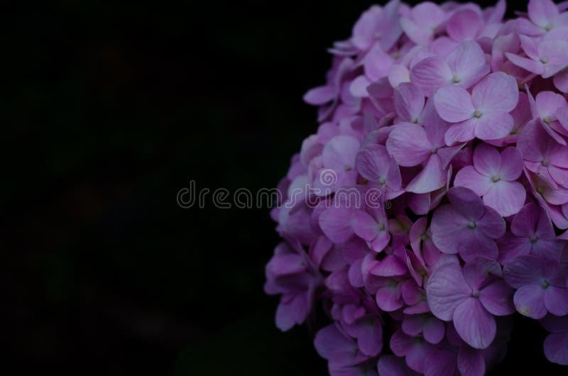 Bush de las flores rosadas de la hortensia en fondo negro con el espacio para el texto fotografía de archivo