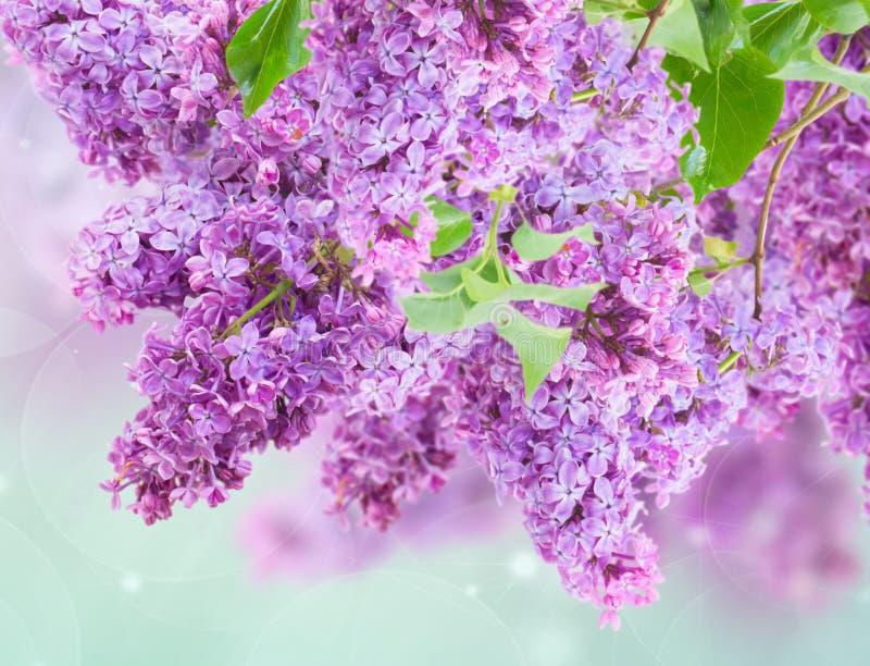 Bush de lilas images stock