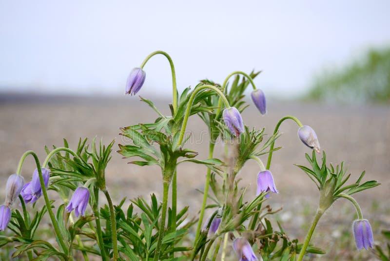 Bush de los snowdrops púrpuras de la primera primavera fotografía de archivo libre de regalías