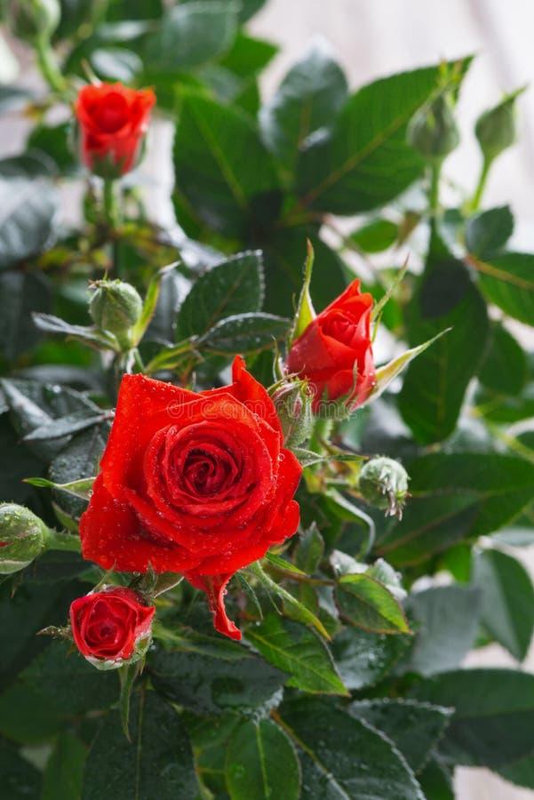 Bush de rosas rojas, vertical imagen de archivo libre de regalías