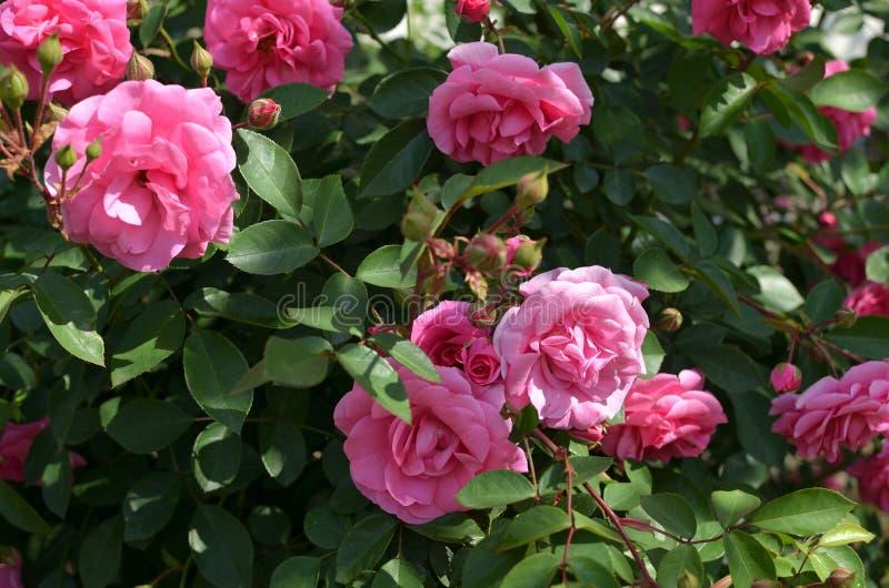 Bush de rosas rosadas imagen de archivo