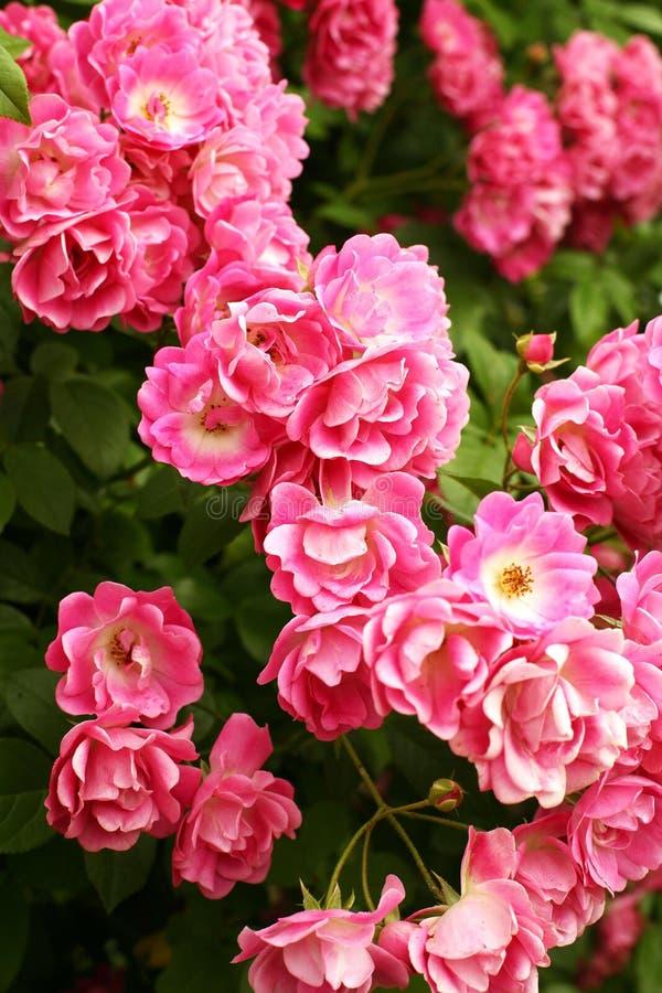 Bush de rosas rosadas hermosas foto de archivo