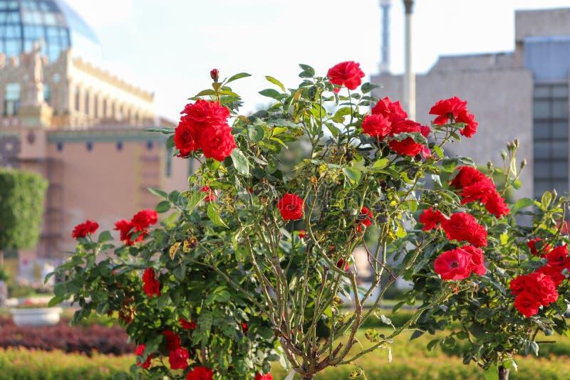 Bush de rosas vermelhas no fundo das construções Close-up bonito das rosas com folhas verdes em uma haste alta fotos de stock royalty free