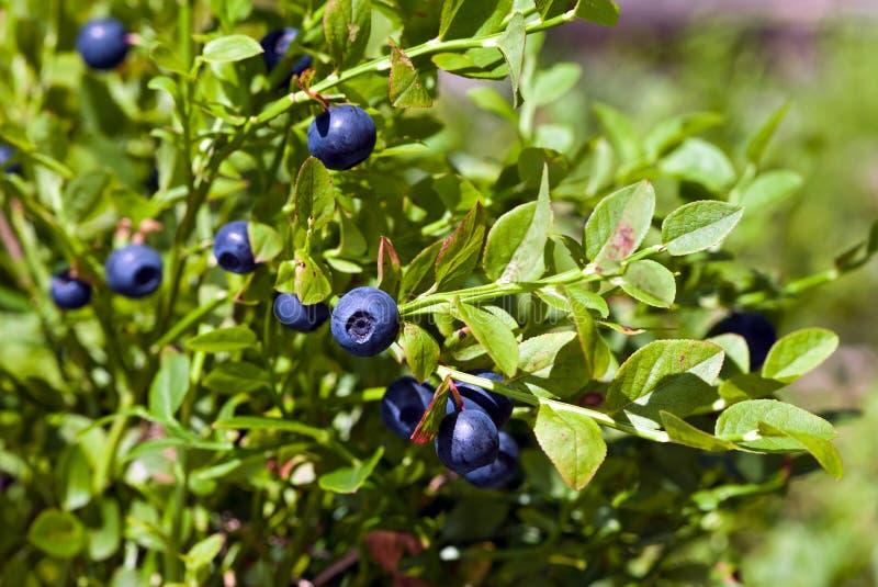 Bush de uma uva-do-monte madura foto de stock