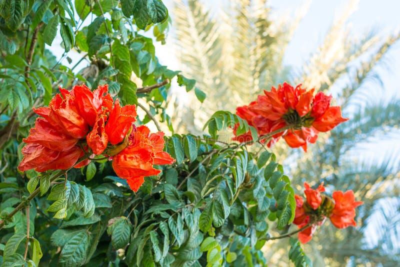 Bush de un africano Tulip Tree Flower y de palmas imágenes de archivo libres de regalías