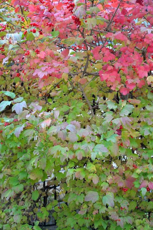 Bush de un ordinario de la guelder-rosa (opulus L del Viburnum ) con el berrie imagenes de archivo
