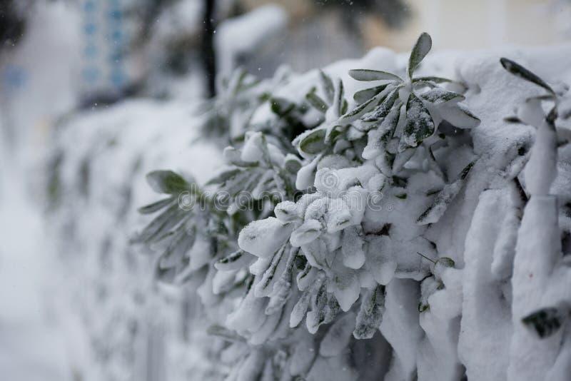 Bush debajo de la nieve imagenes de archivo