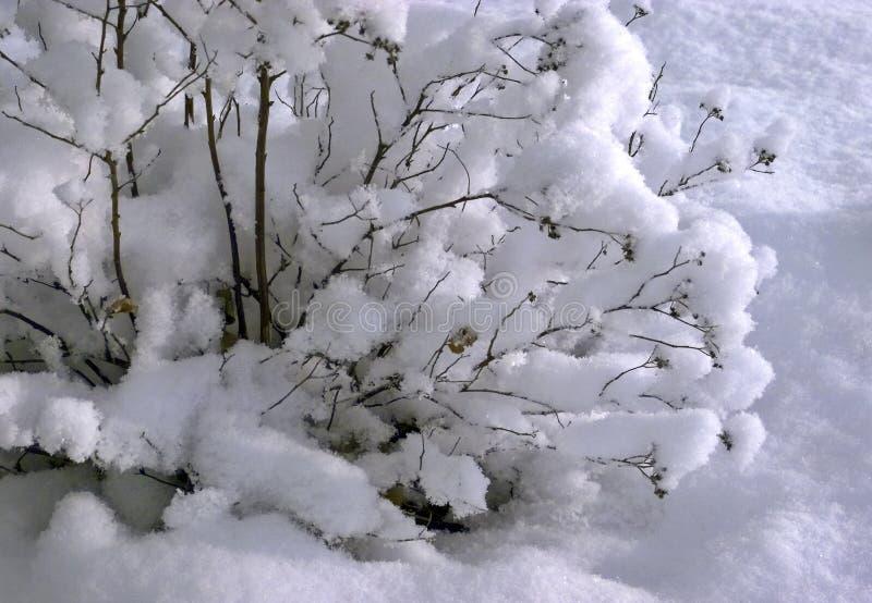 Bush deckte mit Schnee ab lizenzfreies stockfoto