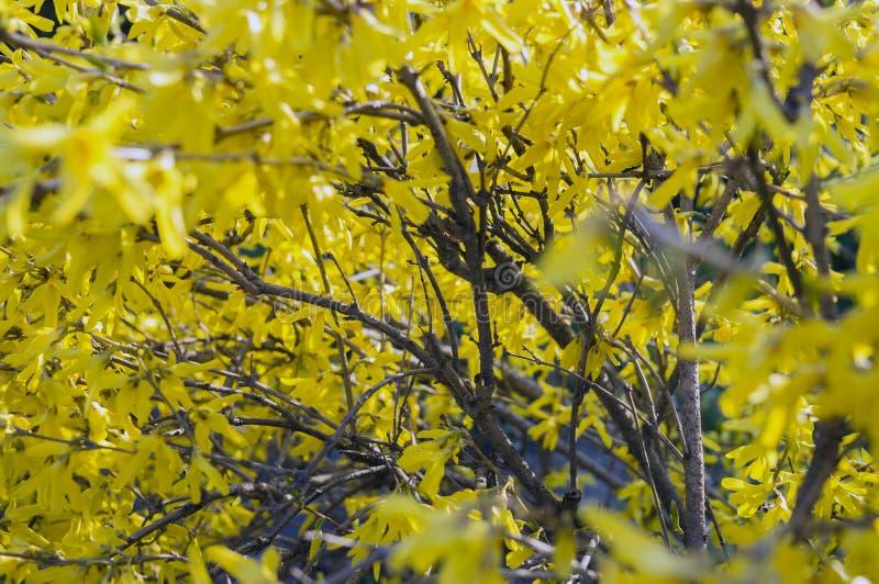 Bush dei fiori gialli di forsythia fotografia stock libera da diritti