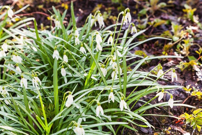 Bush del bucaneve bianco fiorisce su terra bagnata fotografie stock