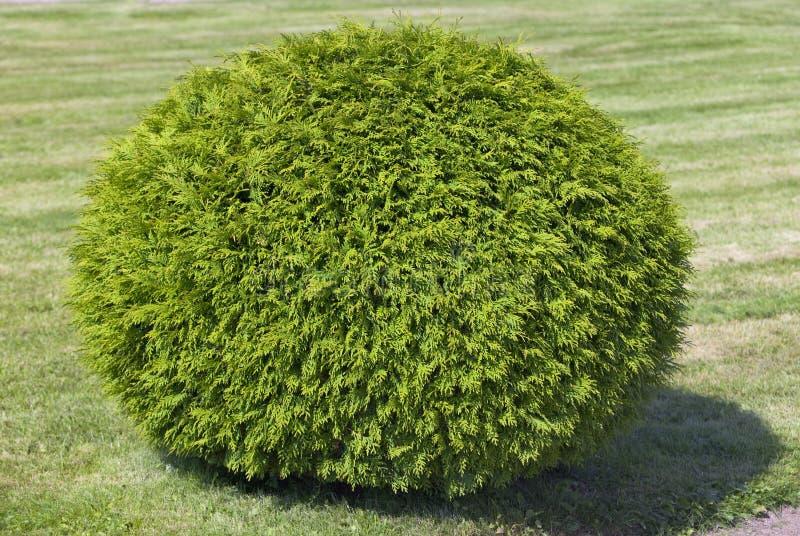 Bush del cipresso, del taglio modulo dentro di una sfera fotografie stock