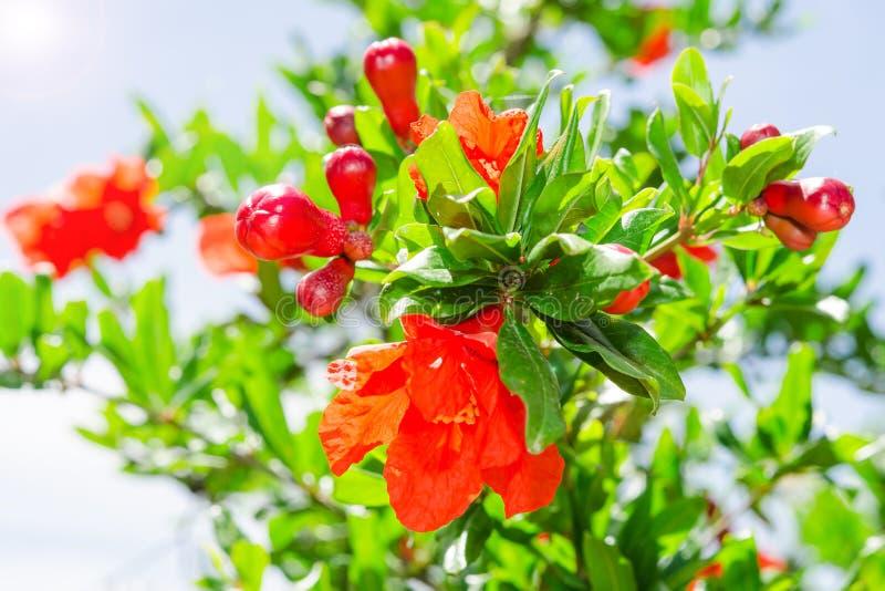 Bush del flor vibrante de la primavera de la granada foto de archivo libre de regalías