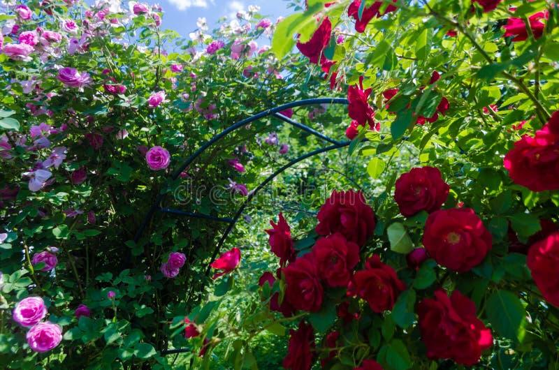 Bush del rosa mullido y de rosas rojas en día soleado Floretes románticos en fondo verde de las hojas en jardín Ciérrese para arr fotografía de archivo