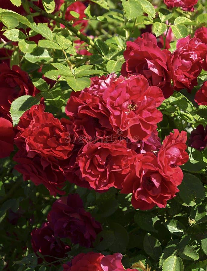 Bush della rosa rossa al termine di anno di tempo fotografia stock