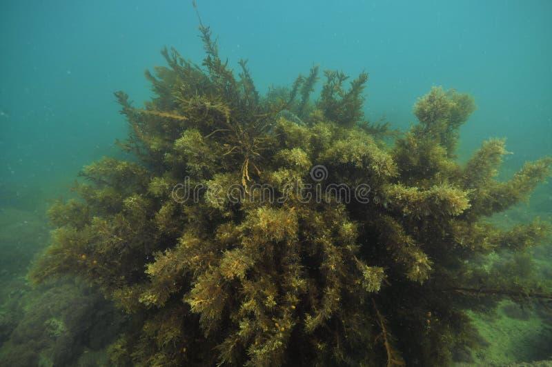 Bush delle erbacce marroni del mare fotografie stock