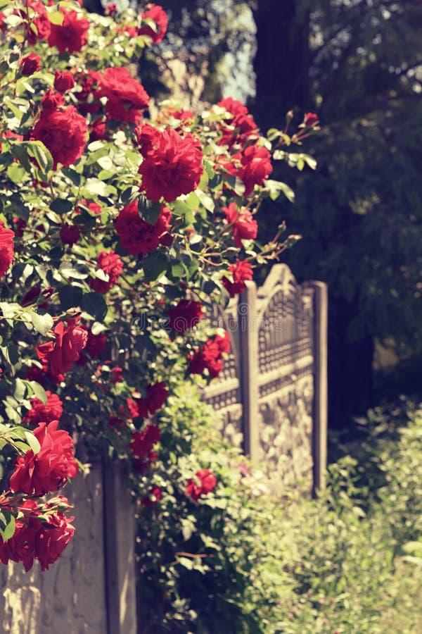 Download Bush delle rose immagine stock. Immagine di mazzo, bellezza - 117979169