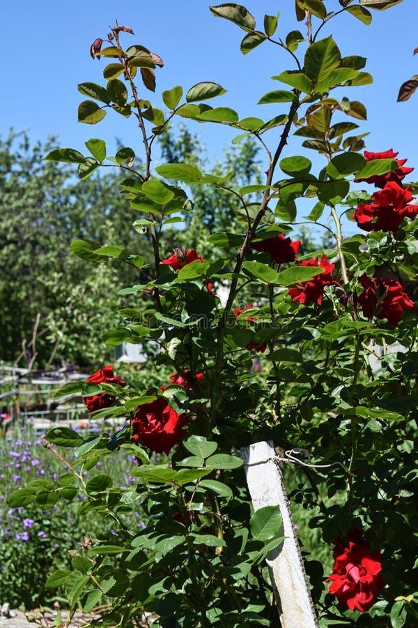 Download Bush delle rose immagine stock. Immagine di flora, background - 117979187