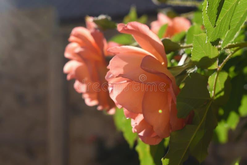Download Bush delle rose fotografia stock. Immagine di giardino - 117979210