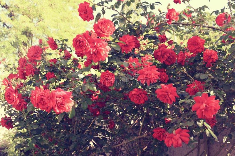 Download Bush delle rose fotografia stock. Immagine di filiale - 117979266
