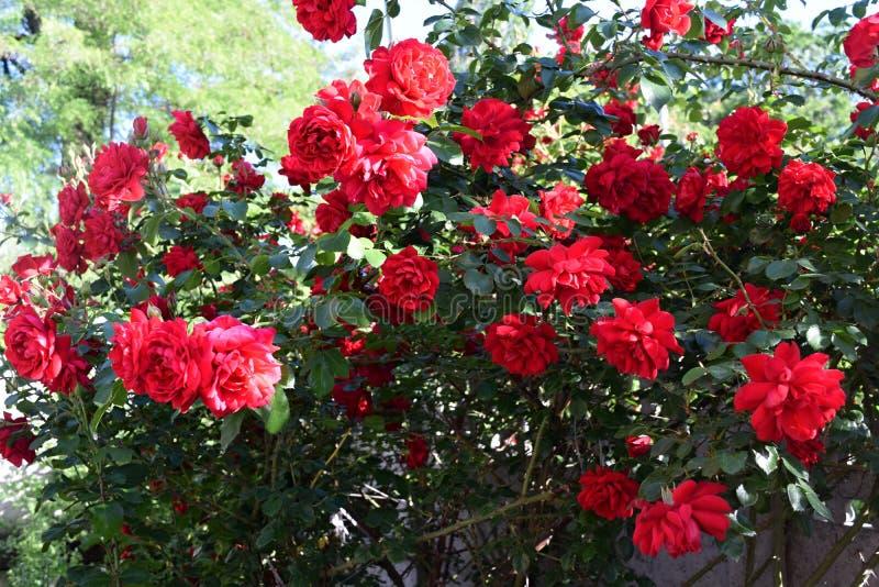 Download Bush delle rose fotografia stock. Immagine di nave, lush - 117979350