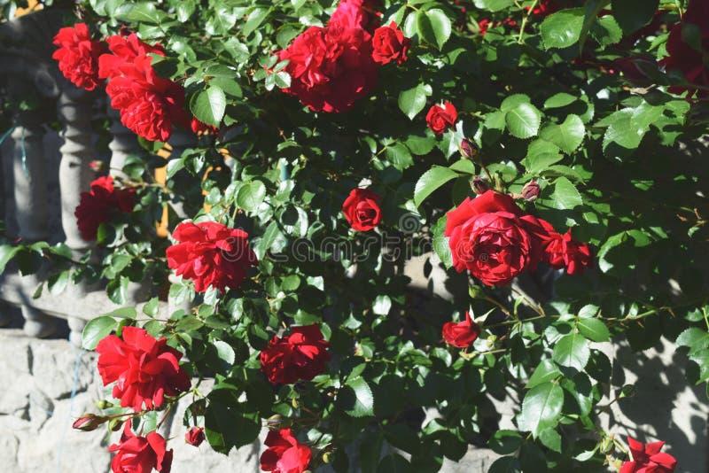 Download Bush delle rose fotografia stock. Immagine di germoglio - 117979382
