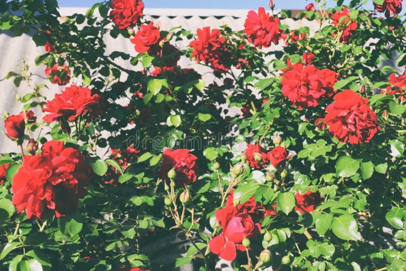 Download Bush delle rose fotografia stock. Immagine di bellezza - 117979434
