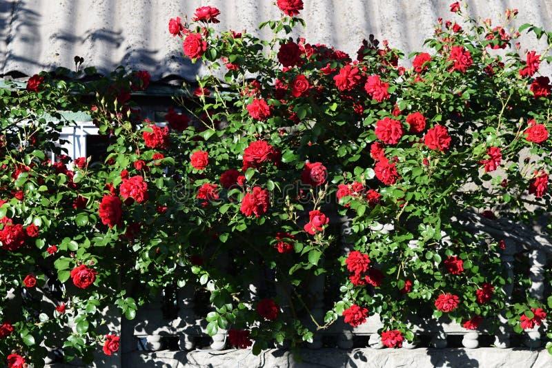 Download Bush delle rose fotografia stock. Immagine di germoglio - 117979452