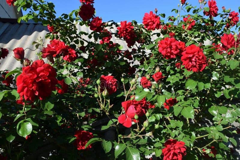 Download Bush delle rose immagine stock. Immagine di fioritura - 117979491