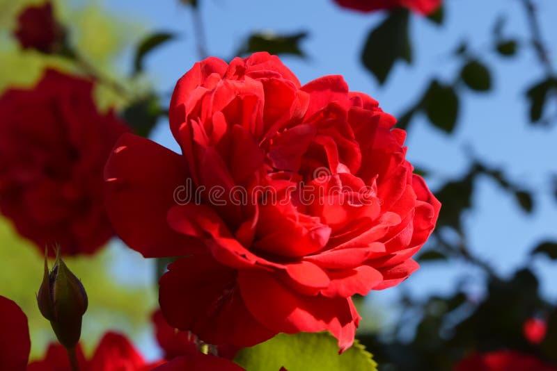 Download Bush delle rose fotografia stock. Immagine di decorazione - 117979536