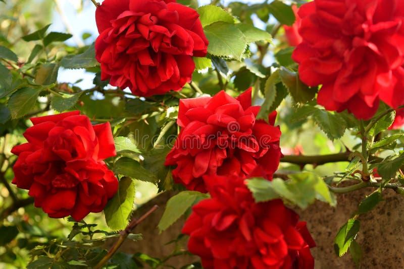 Download Bush delle rose fotografia stock. Immagine di nessuno - 117979568
