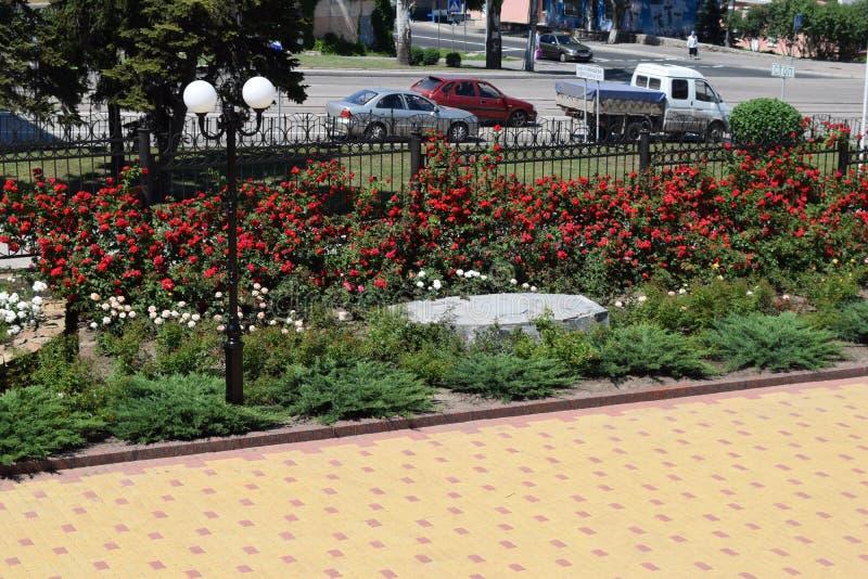 Download Bush delle rose fotografia stock. Immagine di bellezza - 117980290