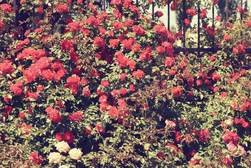 Download Bush delle rose immagine stock. Immagine di giorno, decorazione - 117980315